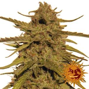 Barney's Farm SeedsPineapple Haze Regular Seeds - 10