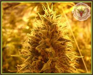 Dr Krippling SeedsPuff Puff Pass Out Feminised Seeds