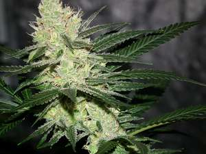 Jinxproof GeneticsPucker Punch Regular Seeds