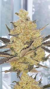 Lineage GeneticsRhea Regular Seeds