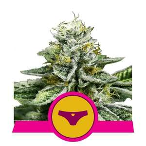Royal Queen SeedsSherbet Queen Feminised Seeds