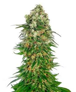 Sensi SeedsShiva Skunk Auto Feminised Seeds