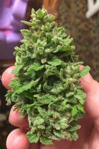 Digital GeneticsSnowBerry Blue Regular Seeds - 12