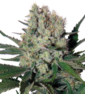 Buddha SeedsSyrup Auto Regular Seeds