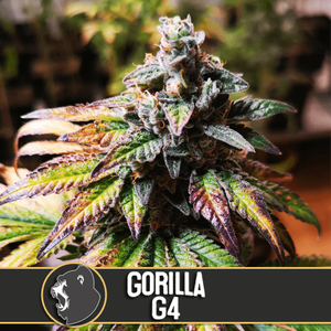 Gorilla Glue #4 Feminised Seeds
