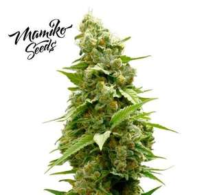 Matriarch OG Regular Seeds - 10
