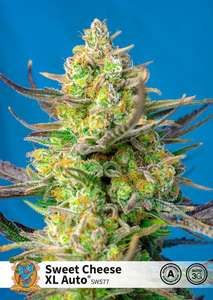Sweet Cheese XL Auto Feminised Cannabis Seeds by Sweet Seeds