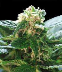 World of Seeds Colombian Gold Feminised cannabis seeds