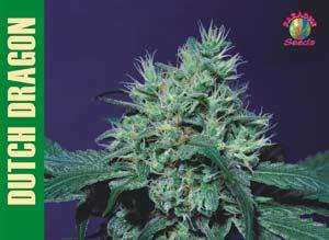 Paradise Seeds Dutch Dragon Feminised cannabis seeds