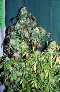 T.H. SeedsS.A.G.E Feminised Seeds