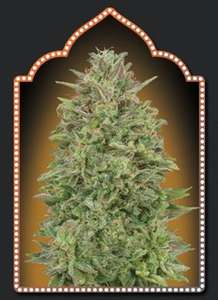 00 Seeds 00 Skunk Feminised cannabis seeds