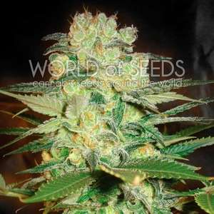 World of Seeds Afghan Kush x White Widow Feminised cannabis seeds