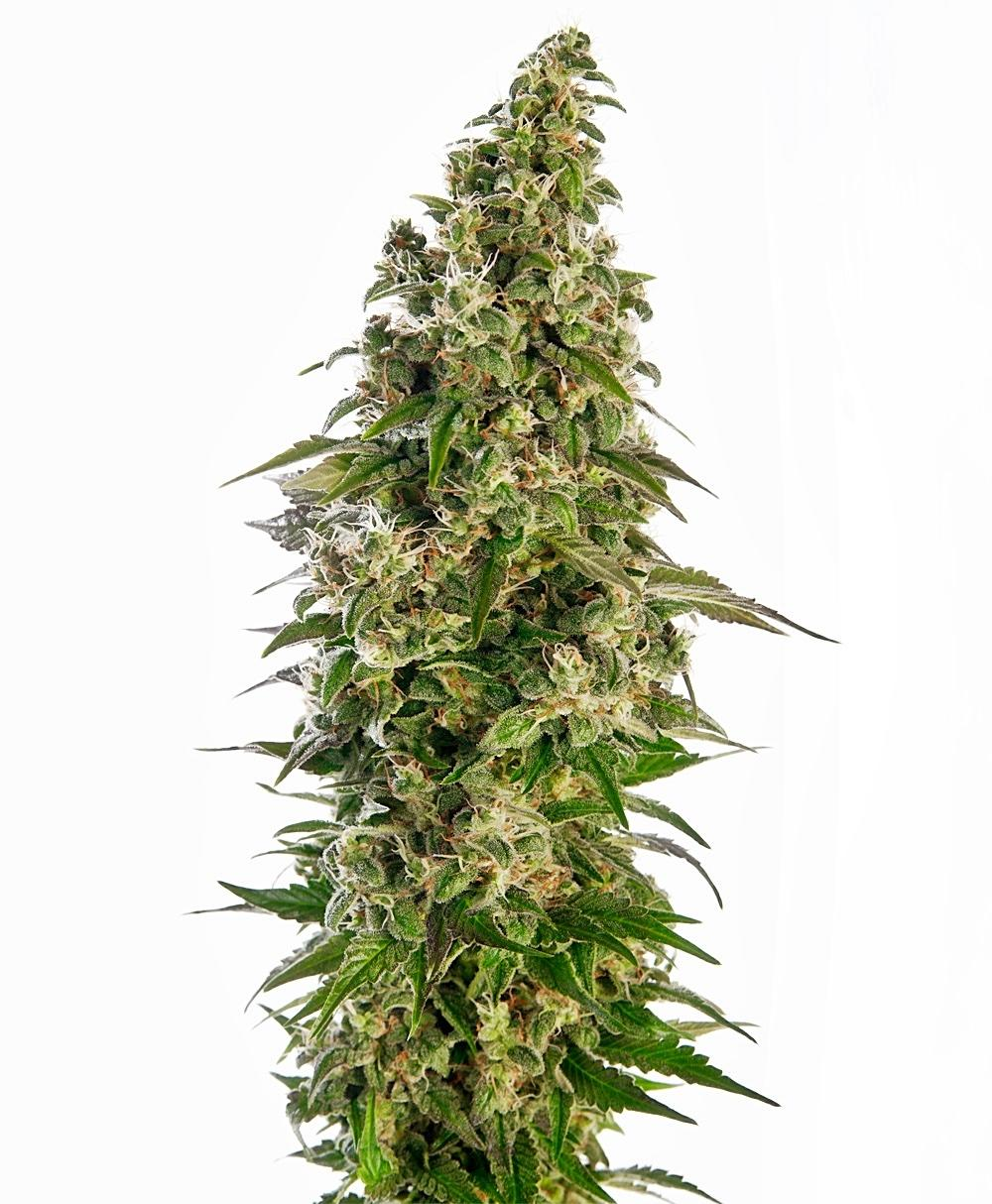 Sensi Seeds Afghani #1 Auto Feminised cannabis seeds
