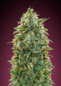 Advanced Seeds Amnesia Feminised cannabis seeds