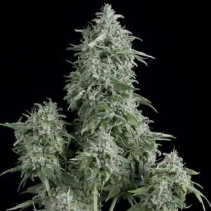 Pyramid SeedsAnubis Feminised Seeds