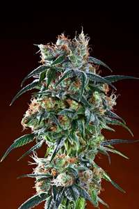 Grand Daddy Purple Bay 11 Feminised cannabis seeds