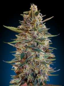 Advanced Seeds Blue Diesel Auto Feminised cannabis seeds
