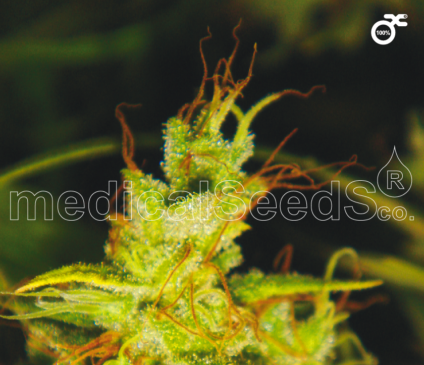 Medical Seeds 2046 Feminised cannabis seeds