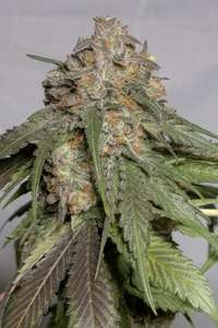 Humboldt Seeds Blueberry Headband Feminised cannabis cannabis seeds
