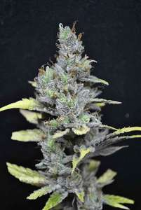 CBD CrewCBD Medi Haze Feminised Seeds
