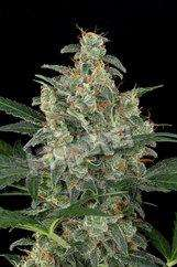 Dinafem Seeds Cheese Auto Feminised cannabis seeds
