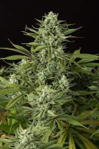 Dinafem Seeds Cheese CBD Feminised cannabis seeds