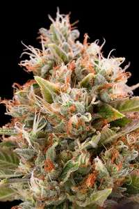 Humboldt Seeds Chemdawg Feminised cannabis seeds