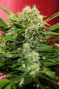 SeedsmanChronic Ryder Auto Feminised Seeds