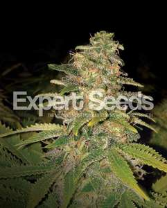 Expert SeedsCritical Blue Auto Feminised Seeds