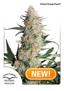 Dutch Passion Critical Orange Punch Feminised cannabis seeds