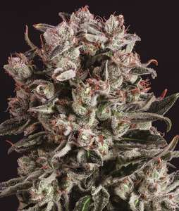 Super CBDx Critical Mass x SCBDX Feminised cannabis seeds