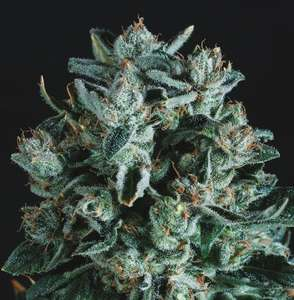 Super CBDxDiesel x SCBDX Feminised Seeds
