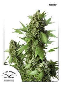 Dutch Passion Duck Auto Feminised cannabis seeds