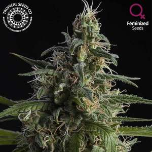 Tropical Seeds Durand's Herald Kush Feminised(Limited Edition) cannabis seeds