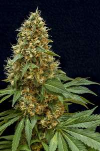 Lineage Genetics Dreamy Widow Feminised cannabis seeds