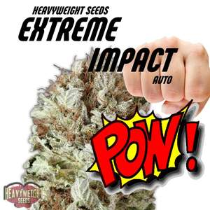 Heavyweight Seeds Extreme Impact Auto Feminised cannabis seeds