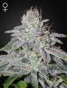Greenhouse Seed Co.Franco's Lemon Cheese Feminised Seeds