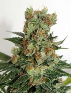 Ripper Seeds Fuel OG Regular  cannabis seeds