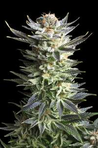 Royal Queen Seeds Fruit Spirit Feminised cannabis seeds