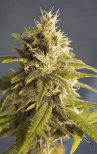 House of the Great Gardener GG #1 Regular  cannabis seeds