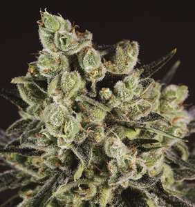 Super CBDx Grapefruit x SCBDX Feminised cannabis seeds