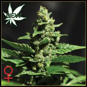 Greenhouse Seed Co.Green-O-Matic Auto Feminised Seeds