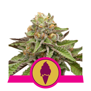 Royal Queen Seeds Green Gelato Feminised cannabis seeds