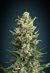Advanced Seeds Ice Kush Feminised cannabis seeds