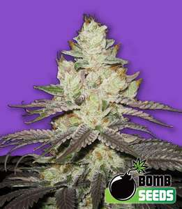 Bomb Seeds Killer Purps Feminised cannabis seeds
