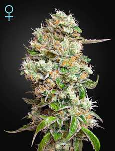 Greenhouse Seed Co. King's Kush CBD Auto Feminised cannabis seeds