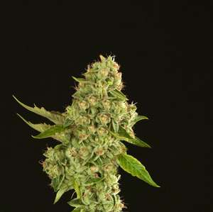 Devils Harvest Seeds Kuchi Feminised cannabis seeds