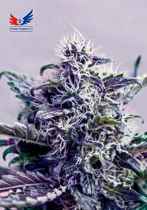 Positronic Seeds Kush Express Auto Feminised cannabis seeds