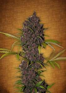 FastBuds SeedsLSD - 25 Auto Feminised Seeds