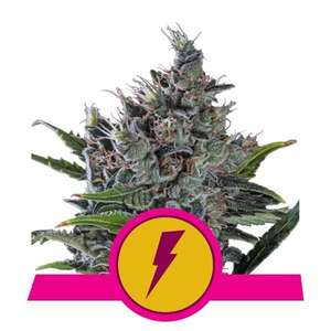 Royal Queen Seeds North Thunderfuck Feminised cannabis seeds